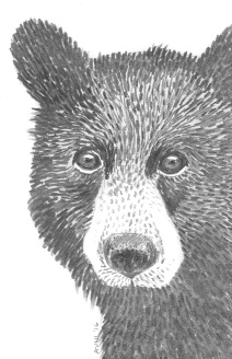 Bear: (prints available) 2016 5″ x 7″ graphite