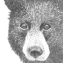 Bear: (prints available) 2016 5″ x 7″ graphite
