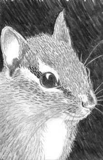 Chipmunk: (prints available) 2016 5″ x 7″ graphite