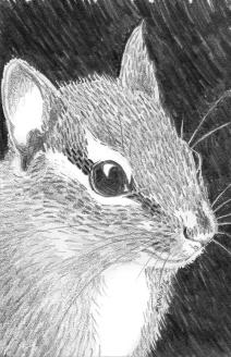 Chipmunk: (prints available) 2016 5″ x 7″ graphite