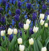 email Tulip Festival Blue and White