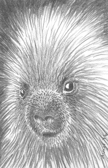 Porcupine: (prints available) 2016 5″ x 7″ graphite