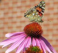 B Fly Painted Lady Nepean